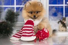 Kerstmis pomeranian hond in rode santasjaal Stock Foto