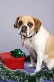 Kerstmis van de buldog royalty-vrije stock fotografie