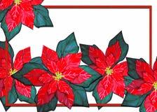 Kerstmis van poinsettia Stock Afbeeldingen