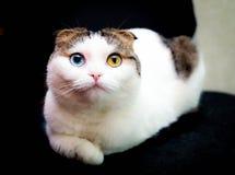 Kerstmis - Weinig kat met verschillende ogenkleur Royalty-vrije Stock Foto