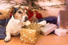 Kerstmishond - Jack Russell Terrier stock foto's