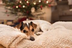 Kerstmishond - Jack Russell Terrier is het liggen inamand royalty-vrije stock foto's