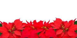 Kerstmiskader van poinsettiabloemen Stock Afbeeldingen