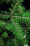 Kerstmisornamenten en pijnboomtakken op zwarte achtergrond Purpere en groene Kerstmisballen op groene nette tak De ballen van Ker Stock Foto