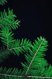 Kerstmisornamenten en pijnboomtakken op zwarte achtergrond Purpere en groene Kerstmisballen op groene nette tak De ballen van Ker Stock Afbeeldingen