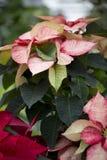 Kerstmispoinsettia Royalty-vrije Stock Afbeelding