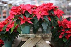Kerstmispoinsettia Stock Fotografie