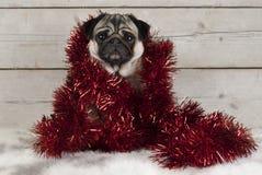 Kerstmispug van Ute puppyhond, gaan zitten verpakt in rood klatergoud op schapehuid royalty-vrije stock fotografie