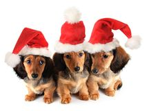 Kerstmispuppy Royalty-vrije Stock Afbeelding