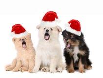 Kerstmispuppy die Santa Hats en het Zingen dragen Royalty-vrije Stock Afbeelding