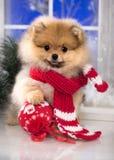 Kerstmispuppy Pomeranian Stock Foto