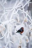 Kerstmissnuisterij van de vogelgoudvink op een tak Stock Afbeelding