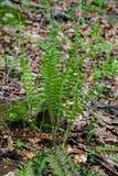 """Kerstmisvaren †""""Polystichum acrostoichoides royalty-vrije stock afbeelding"""