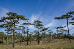 Kesiya sosnowy las w niebieskim niebie i słonecznym dniu zdjęcia royalty free