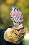 Kestral américain (sparverius de Falco) se repose sur le poing du dérouleur photo libre de droits