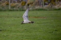 Kestrel в полете, летая стоковая фотография