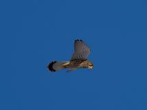 Kestrel наблюдая для tinnunculus Falco мыши Стоковые Изображения RF