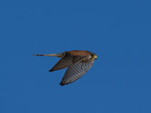 Kestrel наблюдая для tinnunculus Falco мыши Стоковое Изображение RF