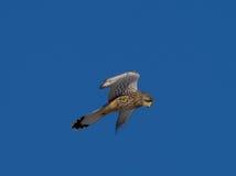 Kestrel наблюдая для tinnunculus Falco мыши Стоковое фото RF