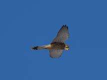 Kestrel наблюдая для tinnunculus Falco мыши Стоковая Фотография RF