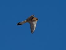 Kestrel наблюдая для tinnunculus Falco мыши Стоковое Изображение