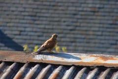 Kestrel на крыше Южная Англия, Великобритания стоковые фотографии rf