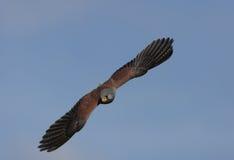 kestrel полета стоковая фотография