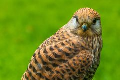 kestrel fotografia de stock royalty free