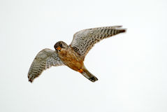 Kestrel Fotos de Stock