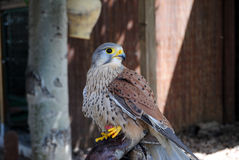 Kestrel. Perched with food in the leg Royalty Free Stock Image