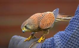 Kestrel. Close up portrait of a kestrel resting on a falconer's arm Stock Photo