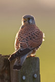 Kestrel Fotos de Stock Royalty Free