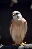 Kestrel Stock Photo