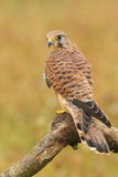 Kestrel. Sitting on tree branch Stock Photo