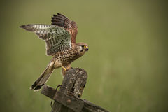Kestrel. Landing on an old wooden gate Stock Image