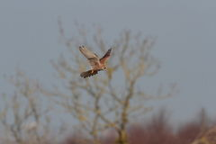 Kestrel. Royalty Free Stock Photography