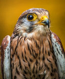 Kestrel Royalty Free Stock Images