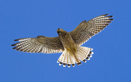 Kestrel Obrazy Royalty Free