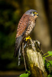 Kestrel. Perched on a stump Stock Image