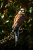 Kestrel. Perched on a stump Stock Photos