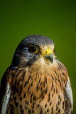 Kestrel. Perched on a stump Royalty Free Stock Photography