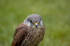 Kestrel. A very young kestrel in a field Stock Photo