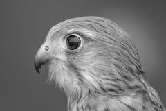 kestrel Стоковое Изображение RF