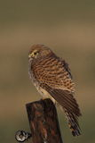 Kestrel. 