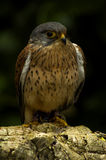 Kestrel. Photograph taken at Liberty's Raptor and Reptile Centre Stock Photos