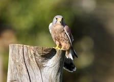 Kestrel. Male Kestrel on tree stump preparing for flight Stock Image