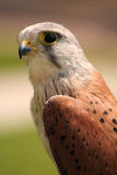 Kestrel. Side profile of a kestrel (possibly the male royalty free stock photography