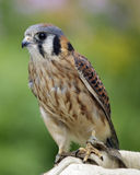 Kestrel. An American Kestrel (Falco sparverius) on the glove of a falconer Royalty Free Stock Photo
