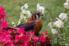 Kestrel americano bonito fotografia de stock