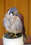 Kestrel americano (Falco Sparverius) imagem de stock royalty free
